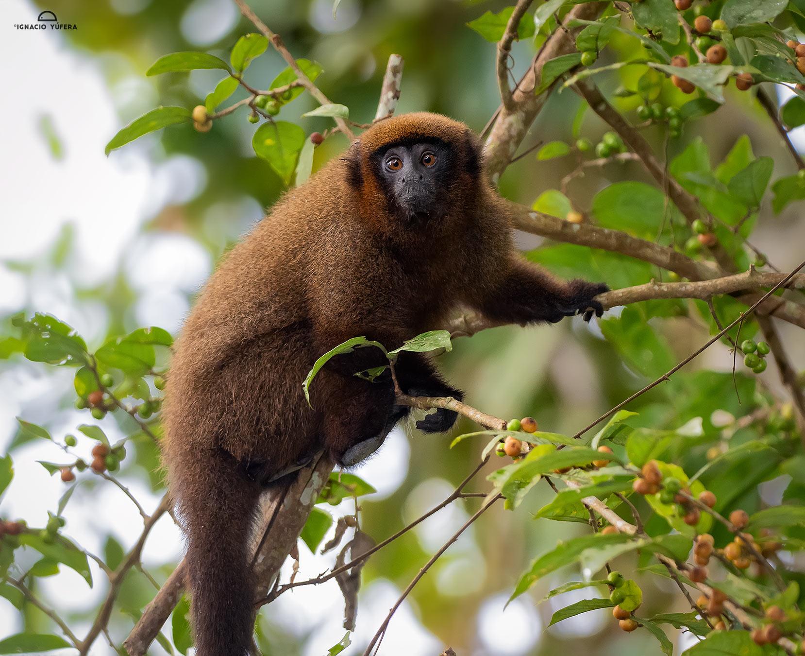 Brown Titi Monkey (Plecturocebus brunneus), Madre de Dios, Peru