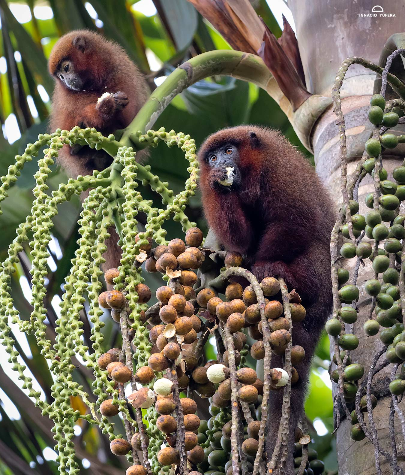Brown Titi Monkeys (Plecturocebus brunneus), feeding on palm fruit, Madre de Dios, Peru