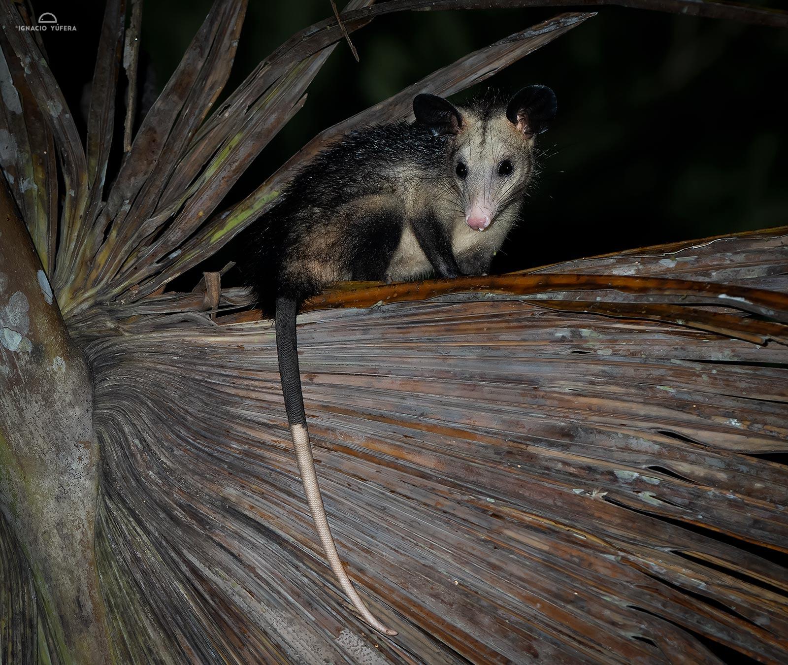 Common Opossum (Didelphis marsupialis), Madre de Dios, Peru