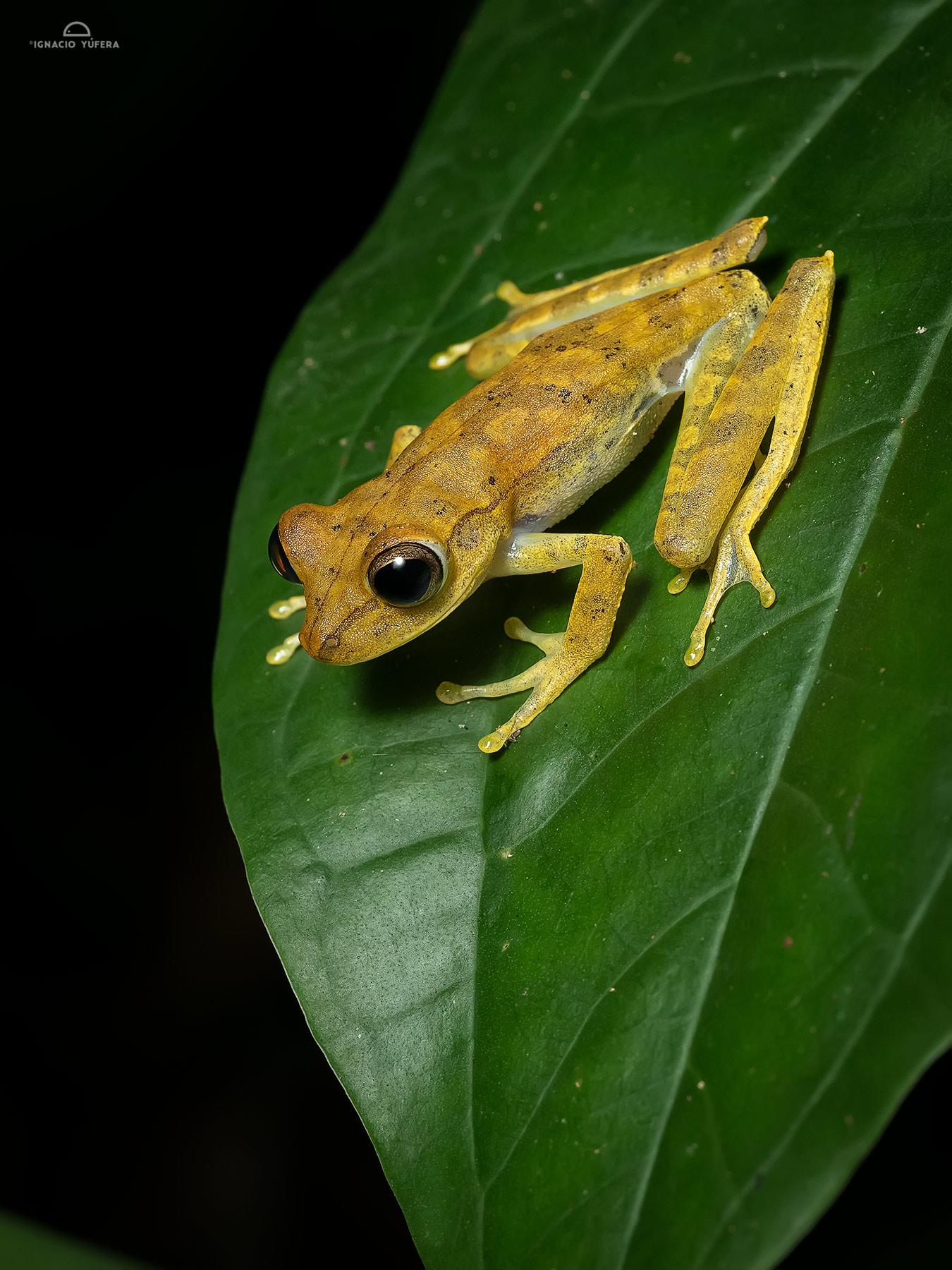 Tree frog, Madre de Dios, Peru