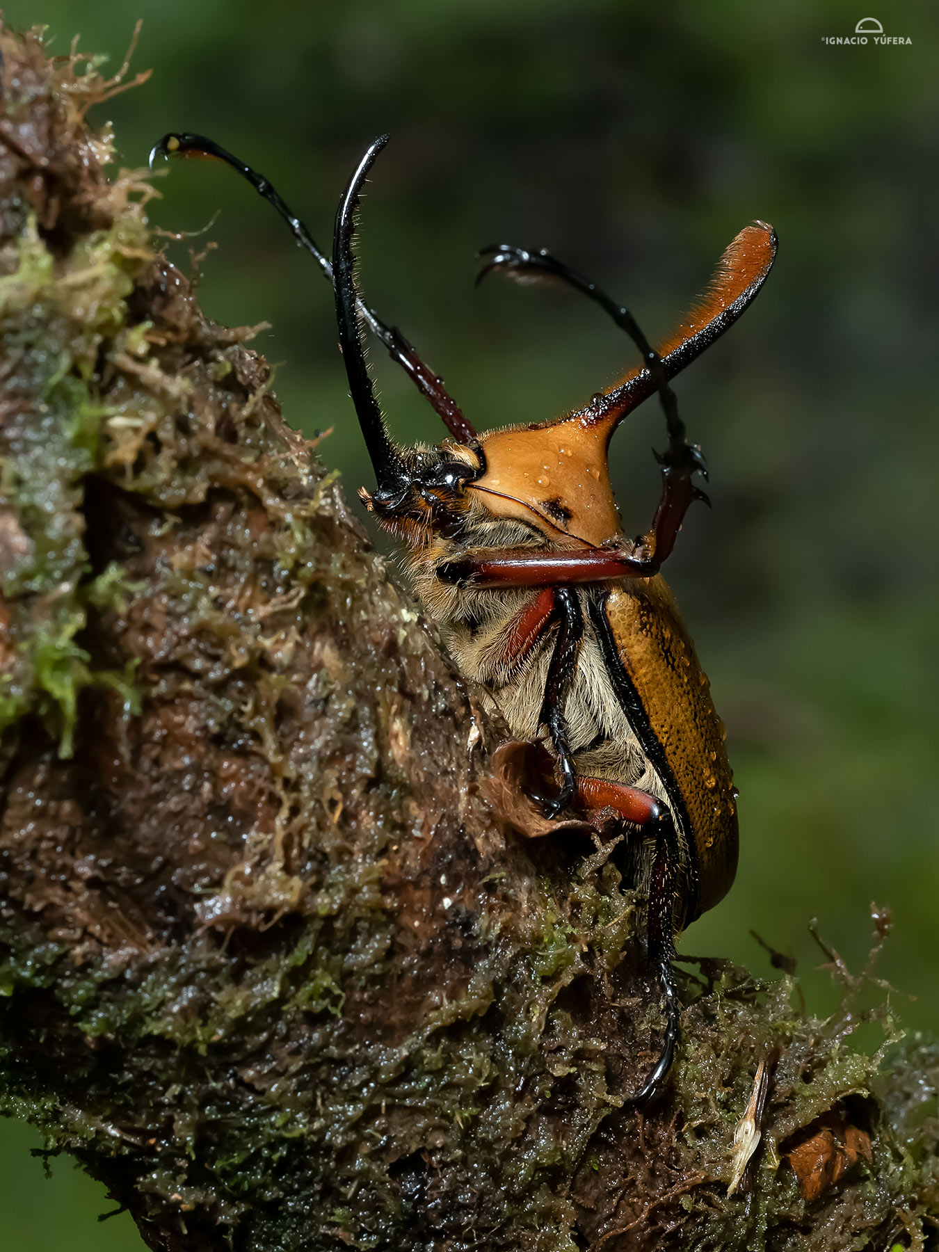Rhino beetle (Golofa eacus), Madre de Dios, Peru
