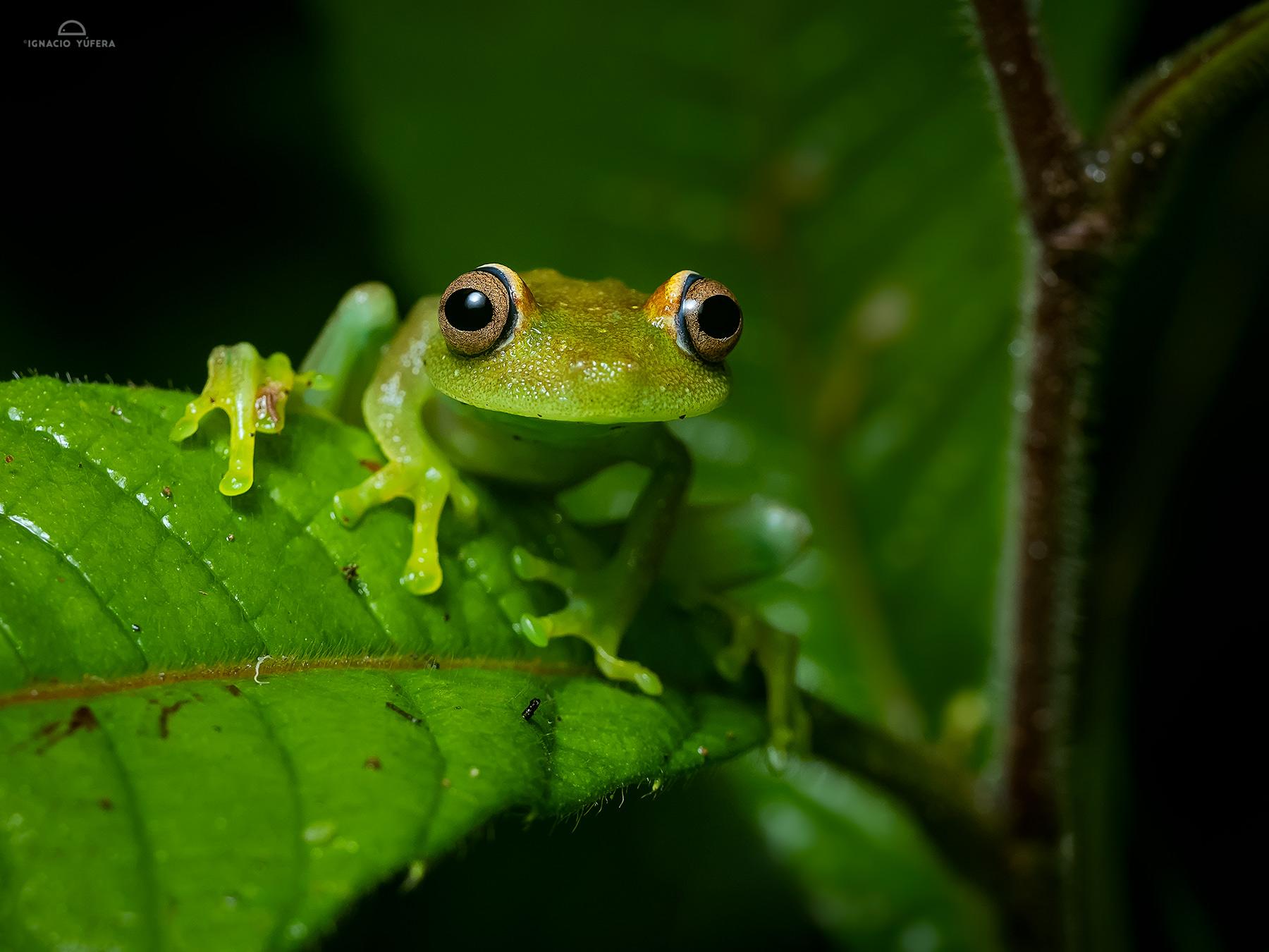 Tree frog (Hypsiboas cinerascens), Madre de Dios, Peru