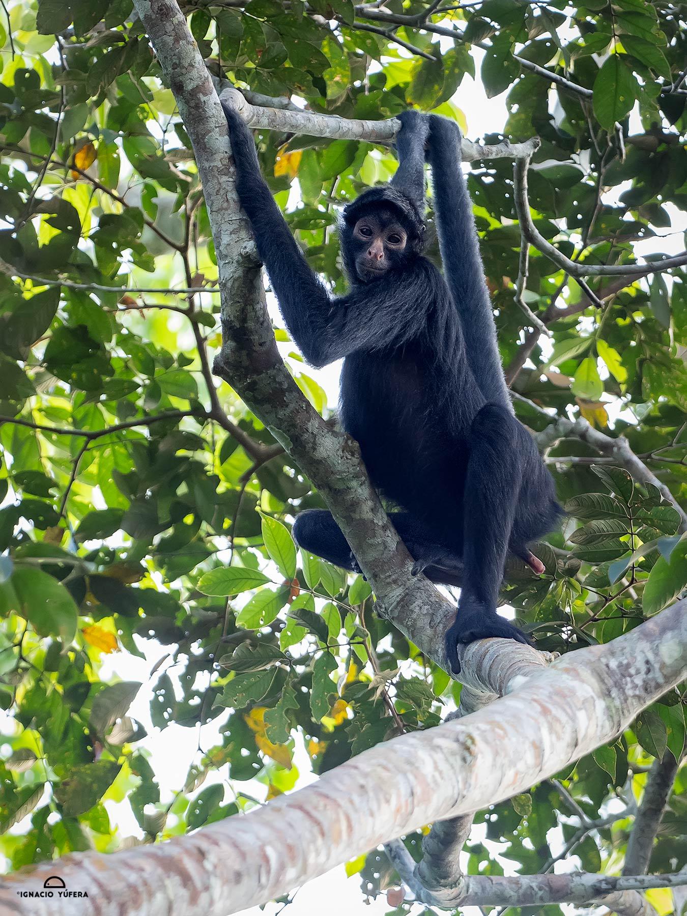 Peruvian Spider Monkey (Ateles chamek), Madre de Dios, Peru