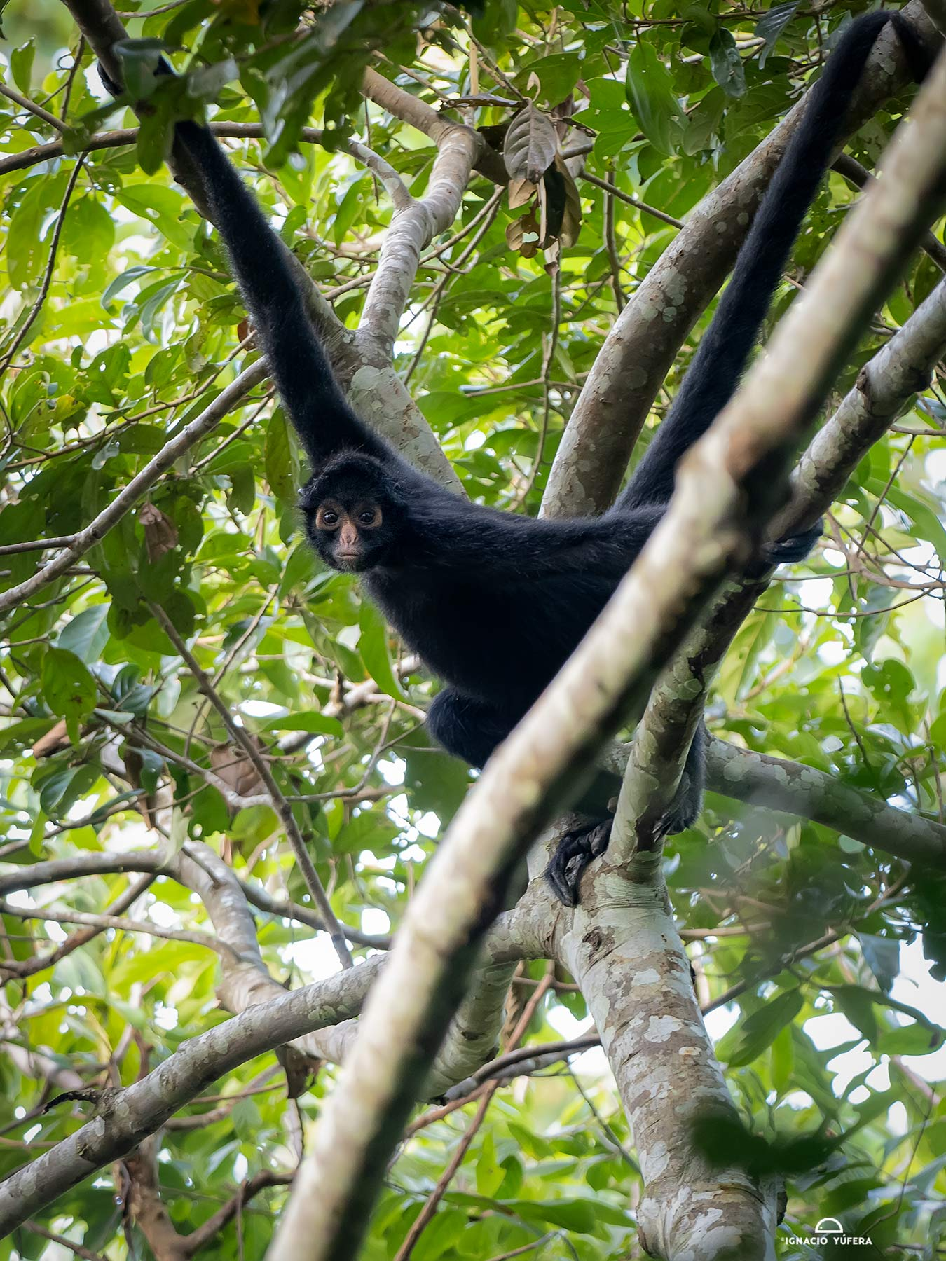 eruvian Spider Monkey (Ateles chamek), Madre de Dios, Peru