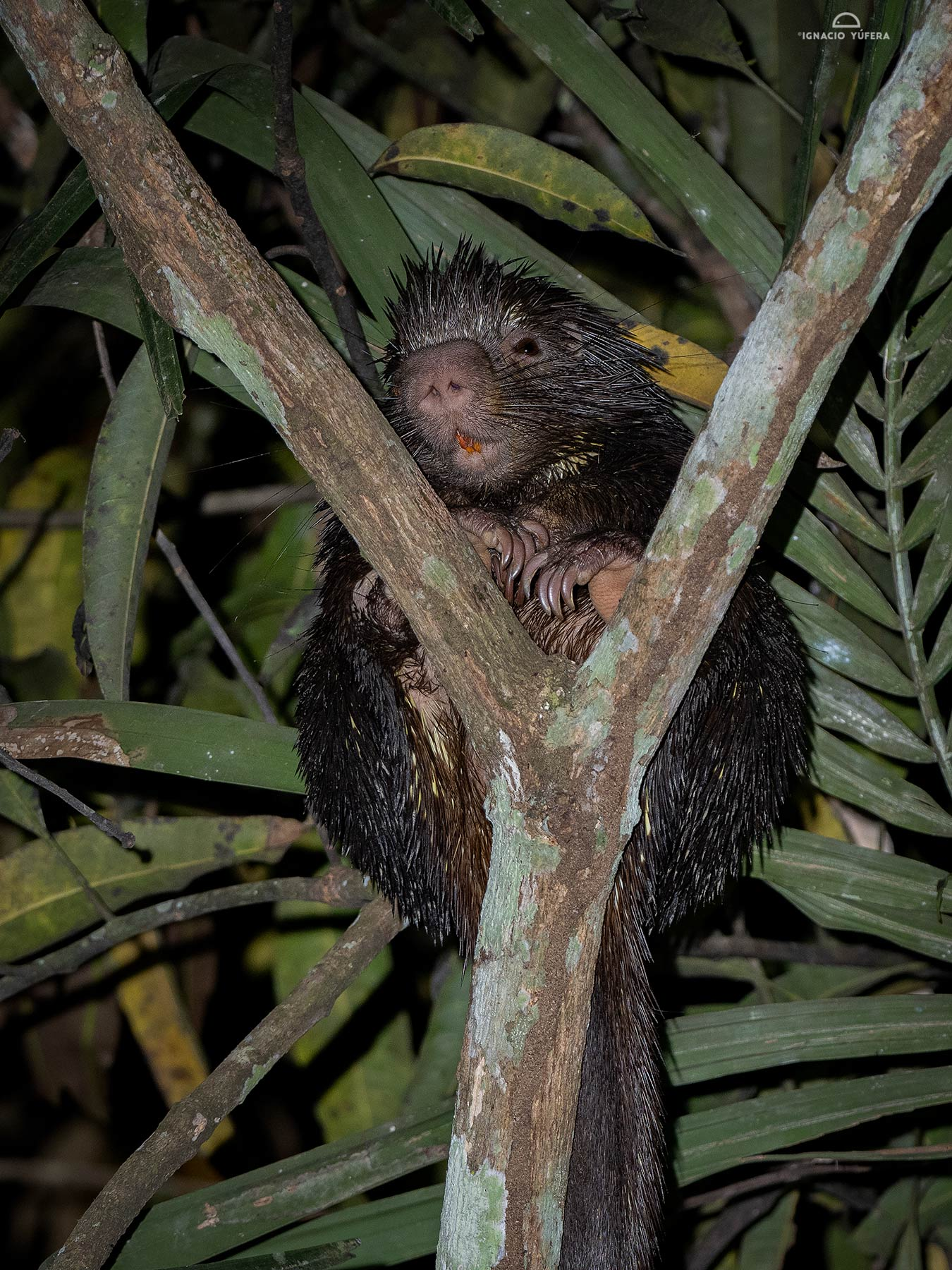 Bicolored-spined Porcupine (Coendou bicolor), Madre de Dios, Peru