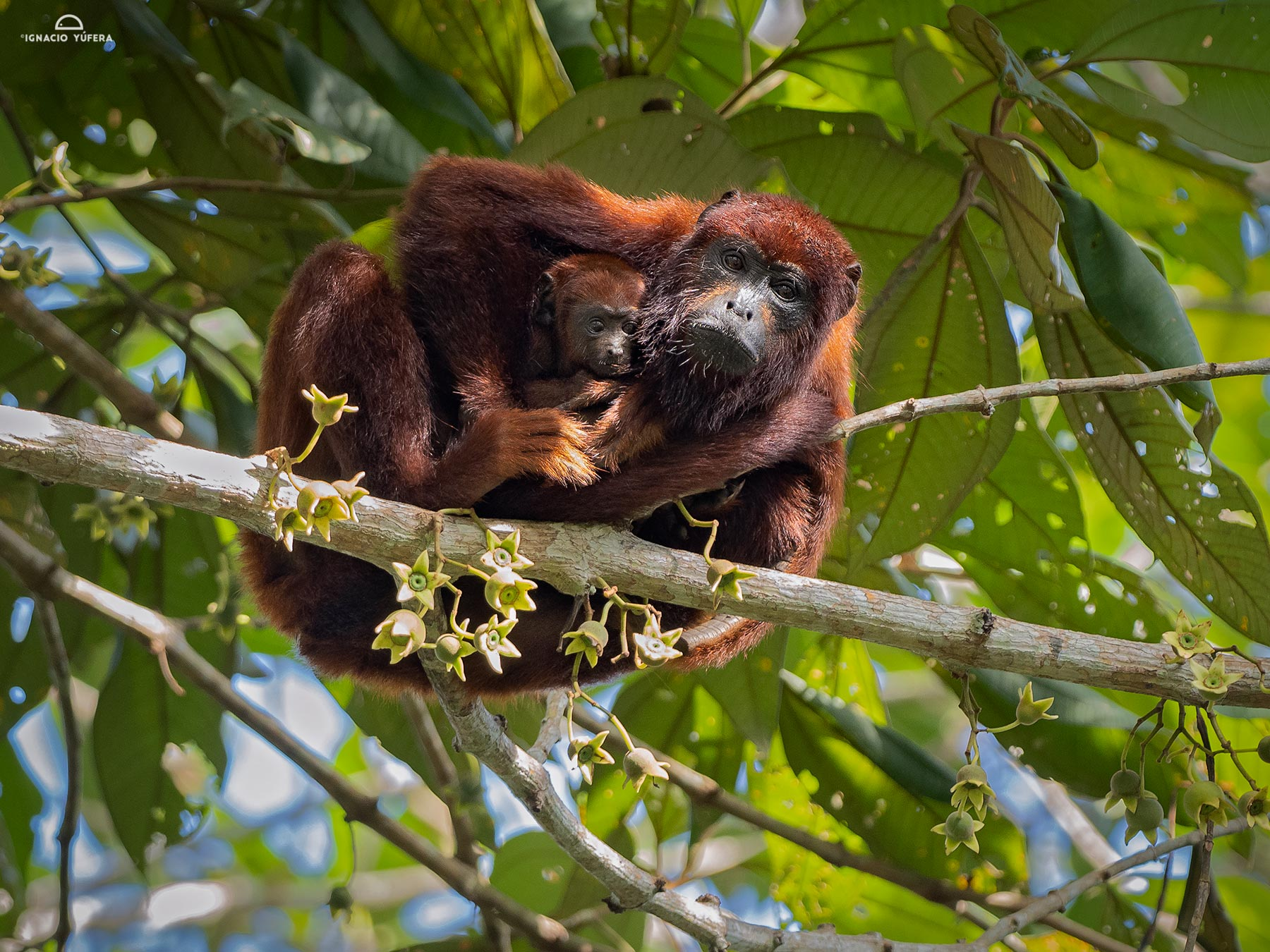 Venezuelan Red Howler Monkey (Alouatta seniculus), male with infant, Madre de Dios, Peru