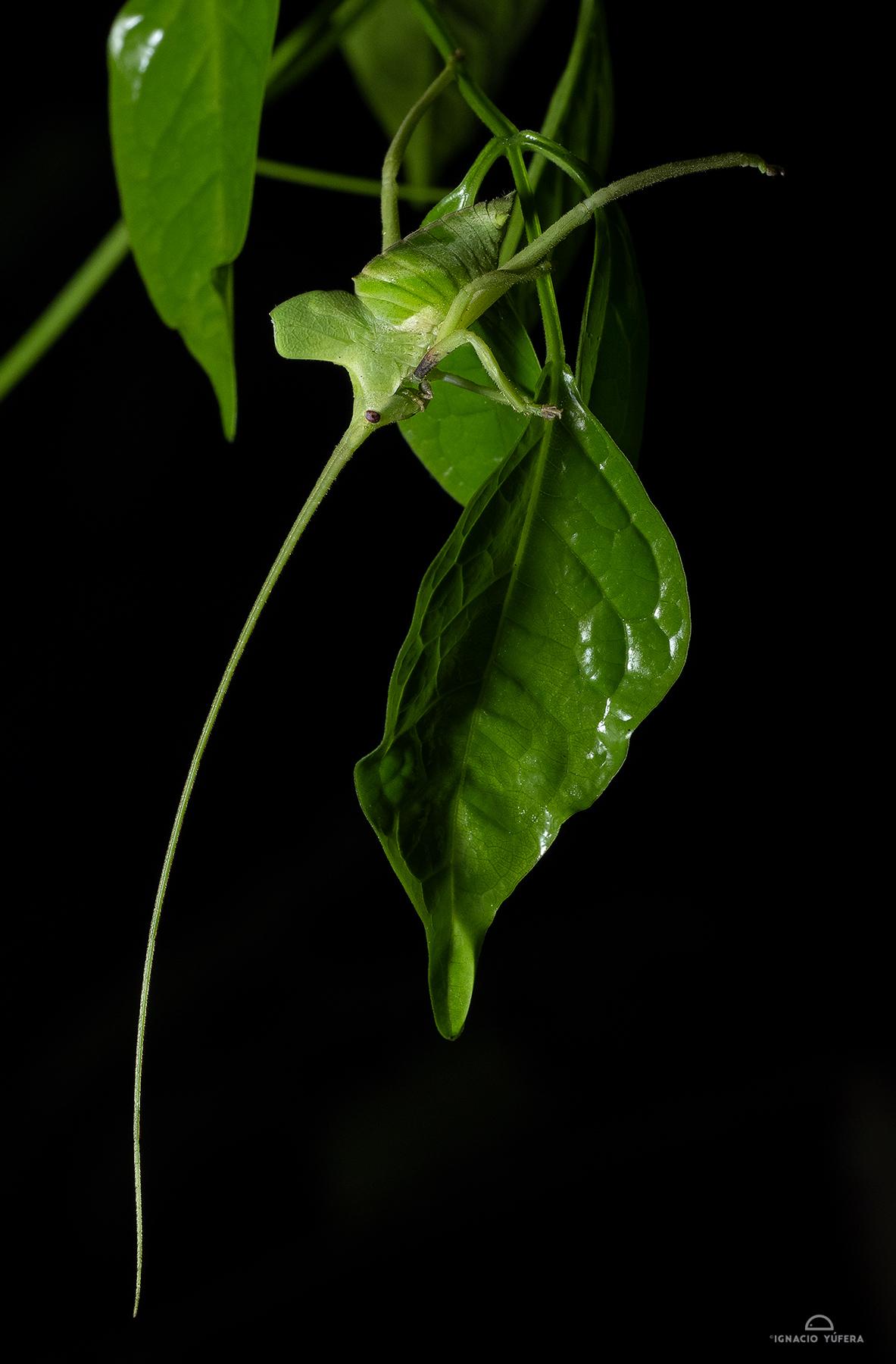 Long-horned katydid (Roxelana crassicornis), Madre de Dios, Peru