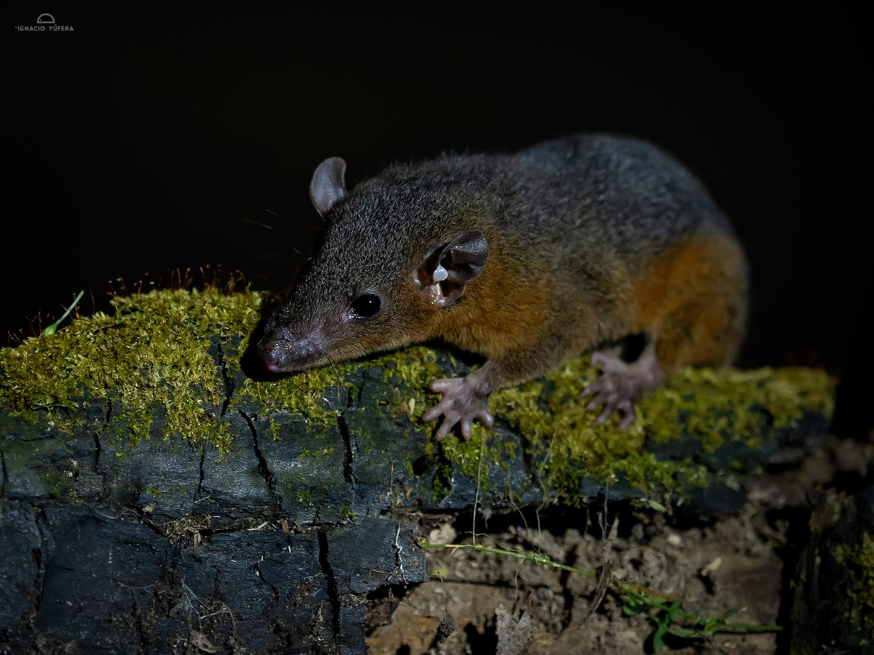 Amazonian Red-sided opossum (Monodelphis glirina), Madre de Dios, Peru