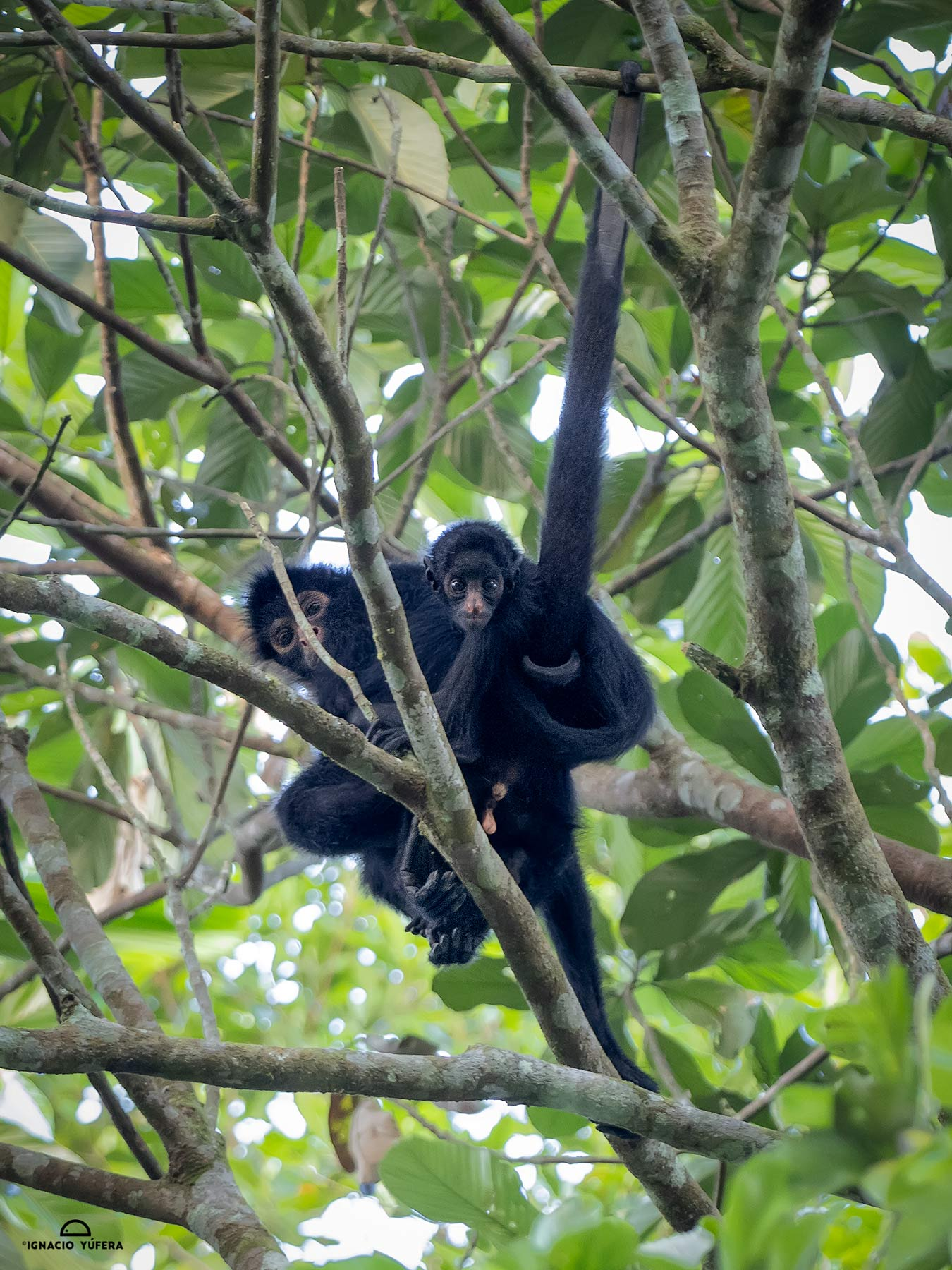 Peruvian Spider Monkey (Ateles chamek), adult carrying infant, Madre de Dios, Peru