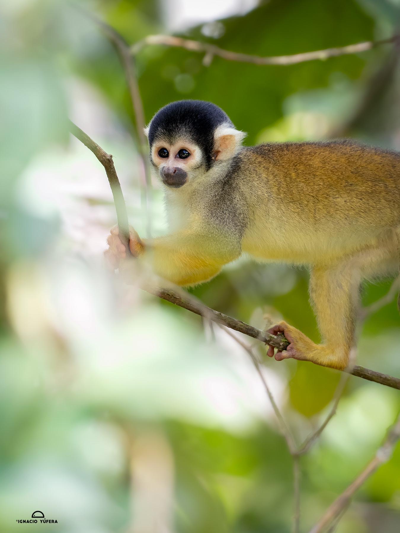 Bolivian Squirrel Monkey (Saimiro boliviensis), Madre de Dios, Peru