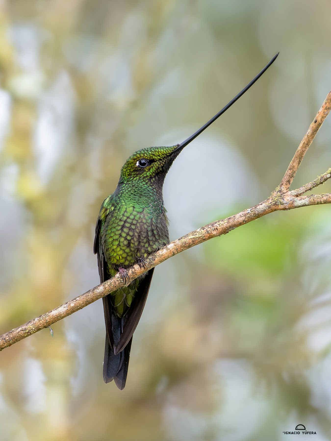 Sword-billed Hummingbird (Ensifera ensifera), Abra Patricia, Peru