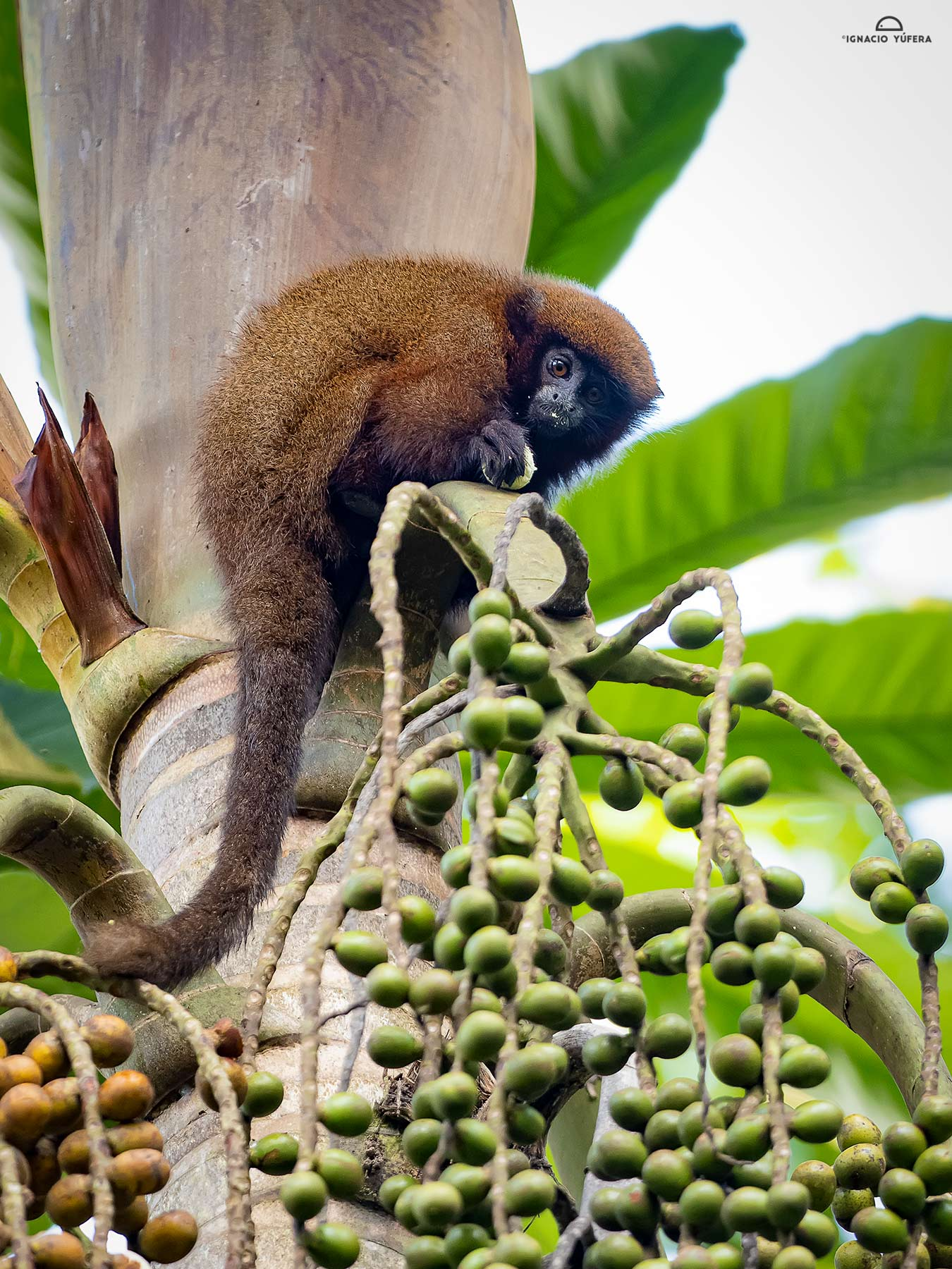 Brown Titi Monkey (Plecturocebus brunneus), feeding on palm fruit, Madre de Dios, Peru