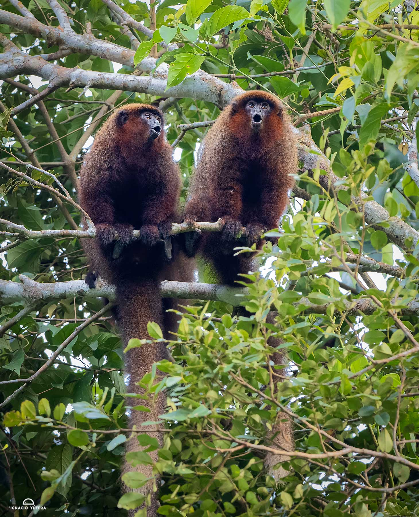 Brown Titi Monkeys (Plecturocebus brunneus), calling to stake their territory, Madre de Dios, Peru