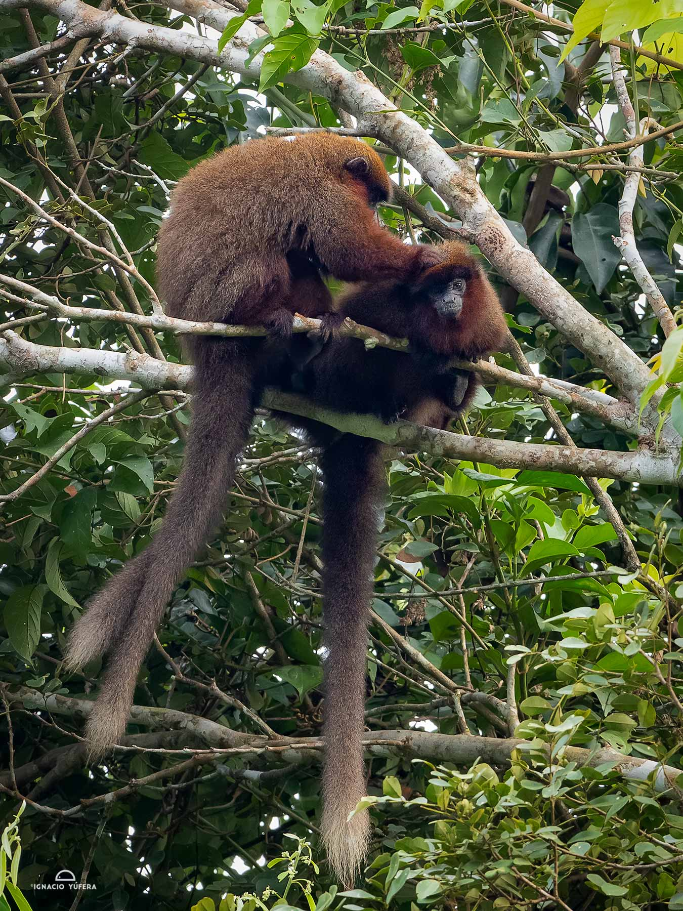 Brown Titi Monkeys (Plecturocebus brunneus), in mutual grooming, Madre de Dios, Peru