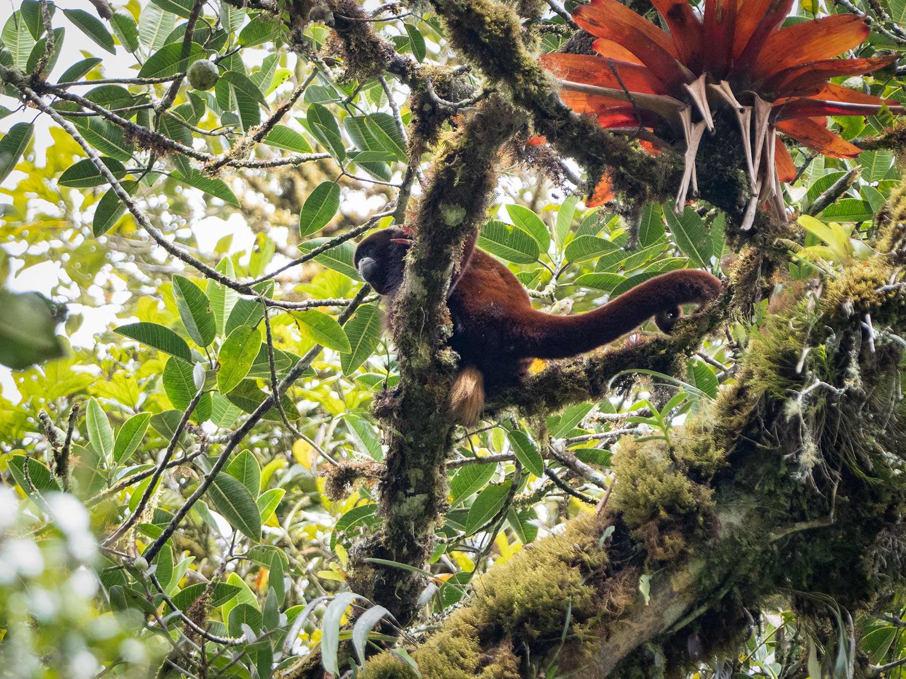 Yellow-tailed Wooly Monkey (Oreonax flavicauda), Peru